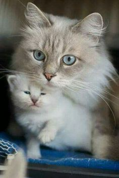 Gorgeous Siamese Momma cat with her baby kitten.