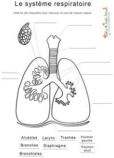 coloriage Le système respiratoire : noms des organes
