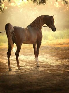 Beautiful Chestnut Arabian Bathed in Sunlight.