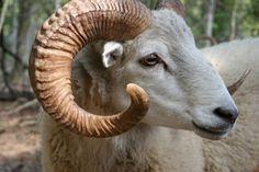Gulf Coast native sheep