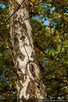Forêt de Rambouillet - Tronc d'un bouleau âgé -