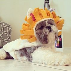This cute little wannabe lion. | 27 Adorable Shih Tzus Who Will Make Your Day Better