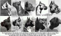 Development of boxer dogs throughout time.
