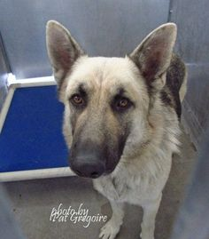 Experienced home needed for stunning young, misunderstood German Shepherd. Dog is terrified in the shelter and has growled at the staff. He is now rescue only; this could cost him his life.