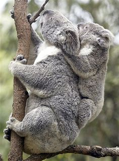 Koala Sabrina and her 10-month-old joey Sapphire, produced by artificial insemination, are seen at Currumbin Wildlife Sanctuary in Gold Coast, Australia.