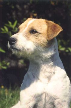 jack russel et parson russell terrier, differences entre deux races differentes