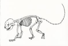 """milk-paws:  First inking of a three part illustration - red panda skeleton. The other two illustrations will be the muscular anatomy of the red panda and one of all its fluffy, squishy, cute, furry self. Each will be roughly 24"""" x 15"""", india ink on 140lb Arches cold press."""