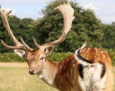 dama dama (fallow deer buck) © manav gupta