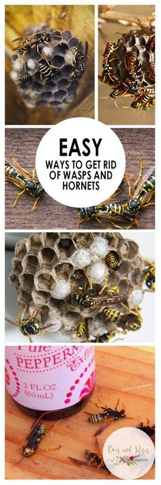 Easy Ways to Get Rid of Wasps and Hornets - Bees and Roses
