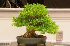 Boxwood Boxwood Bonsai, Buxus, Herbs, Plants, Personal Style, Gardens, Outdoor Gardens, Herb, Plant