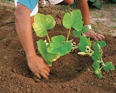 How to grow pumpkins - soil blocker recipes - growing pumpkins Best article I have seen on growing pumpkins! Diy Garden, Fruit Garden, Edible Garden, Shade Garden, Lawn And Garden, Indoor Garden, Container Gardening, Gardening Tips, Organic Gardening