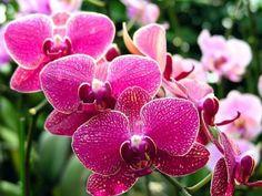 Az orchideák hatalmas népszerűségnek örvendenek világszerte, így a hazai szobanövény tartók körében is. Gondozásukkal gyakran meggyűlik az emberek baja. Nekik és az orchidea tartás iránt érdeklődőknek szánjuk írásunkat. Ingyenesen letölthető 10 oldalas kiadványunkban összefoglaltuk...