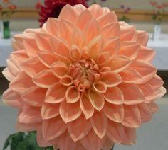 Light peach colored Dahlia