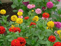 Growing Zinnia Flowers