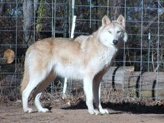 Wolf Dog Hybrid: Top 10 Most Dangerous Dogs In The World – List By Depending On Their Fatalities Puppies And Kitties, Pet Dogs, Dog Cat, Doggies, Wolf Husky Hybrid, Dog Pictures, Animal Pictures, Types Of Wolves, Wolfdog Hybrid