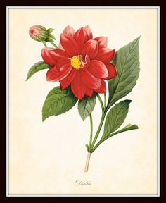 Antique Dahlia Botanical Art Print 8 x 10 by BelleMaisonArt, $10.00