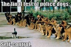 Police-dogs... at sit-stay watching a cat. (good dogs) Resist, Resist, Resist, just how long can you? When is the point that you lose self control?