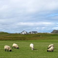 Sheep, Iona, Scotland