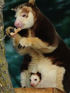 tree kangaroo and joey... Again... I have never even heard of these...