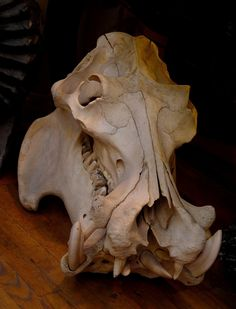 The Hippopotamus skull which was displayed in the window of Evolution( 120 Spring St. New York, NY ). 2007