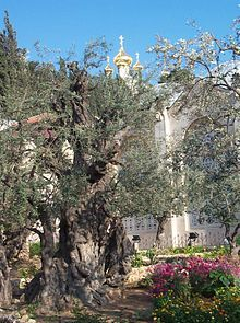 "Gethsemane ""oil press"" is a garden at the foot of the Mount of Olives in Jerusalem most famous as the place where, according to the gospels, Jesus and his disciples are said to have prayed the night before Jesus' crucifixion."
