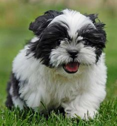 Shih Tzu..too cute!