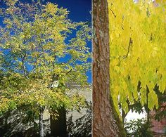 trunk and fall foliage KY Coffee Tree 40-50 tall Tree Planting, Trees To Plant, Landscaping Plants, Front Yard Landscaping, Kentucky Coffee Tree, Nitrogen Fixing Plants, Oregon State University, Garden Trees, Grasses