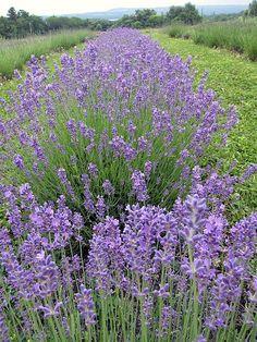 Folgate Lavender