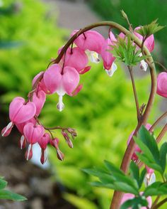 Bleeding Heart flowers grow in alberta and they are good for butterflies Bleeding Heart Tattoo, Bleeding Heart Plant, Bleeding Hearts, Growing Flowers, Planting Flowers, Beautiful Gardens, Beautiful Flowers, Shade Perennials, Annual Plants