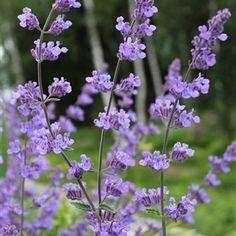 Kantnepeta, Nepeta x faassenii 'Walkers Low' Hela plantan luktar gott, och katterna älskar den...