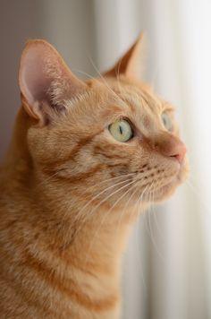 ginger kitty ~ portrait