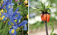 A íris era uma das flores prediletas de Monet, vista no Jardim da Normandia. Seu florescimento é mais forte sob climas frios, embora se dê na primavera e no verão. Atinge até 60 cm de altura (Foto: Fernando Grilli)