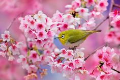 Oiseau sur cerisier