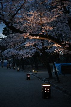 Cherry Blossom Walk, Kyoto, Japan
