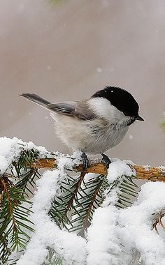 """Soft Elegance"" — seasonsofwinterberry: Black Cap Chickadee on a..."