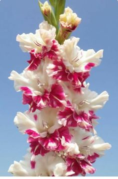 Perennial Gladiolus Flower Seeds, Rare Sword Lily Seeds for DIY HOME garden planting Aerobic potted plants decoration Exotic Flowers, Amazing Flowers, Colorful Flowers, Beautiful Flowers, Beautiful Gorgeous, Cut Flowers, Simply Beautiful, White Flowers, Gladioli