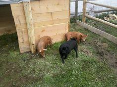 Image diy pig pen and pig shelter