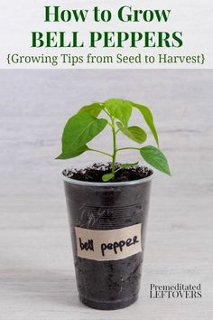 how to grow green bell peppers from seeds and how to transplant bell pepper seedlings