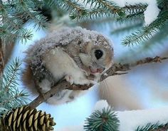 Japanese Dwarf Flying Squirrel ~ these little guys are so cute! Cute Creatures, Beautiful Creatures, Animals Beautiful, Nature Animals, Animals And Pets, Nature Dog, Cute Baby Animals, Funny Animals, Japanese Dwarf Flying Squirrel