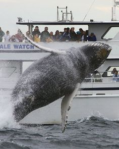 whale watching in Cape Cod with the Bombshel this summer?