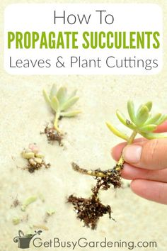 Propagating succulents is super easy! Get tons of succulent propagation tips, and learn exactly how to grow succulents from cuttings or leaves step-by-step. Baby Succulents, Propagating Succulents, Plant Cuttings, Growing Succulents, Succulent Gardening, Growing Plants, Growing Vegetables, Planting Succulents, Succulent Ideas