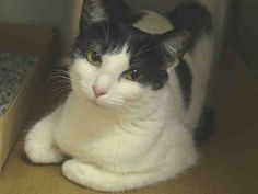 """♥ SAFE ♥ Meet ZIMMER > SPONSOR ME & ADOPT ME > http://nyccats.urgentpodr.org/zimmer-a1036483/ SUPER URGENT > IN SHELTER FROM MAY 15 