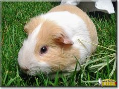 Read Bill's story the Guinea Pig from Minnesota and see his photos at Pet of the Day http://PetoftheDay.com/archive/2014/July/24.html .