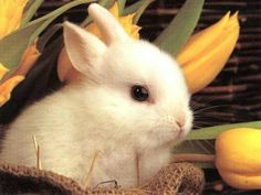 What a precious bunny in the tulips...