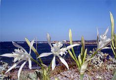 """"""" PANCRACES D' ILLYRIE"""" ou lys de mer. Espèce endémique à la Corse et à la Sardaigne"""