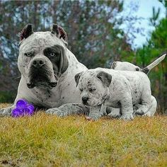 Pitbull Terrier Love these 2 Amstaff Terrier, Pitbull Terrier, Cute Baby Animals, Animals And Pets, Funny Animals, Wild Animals, Cute Puppies, Cute Dogs, Dogs And Puppies