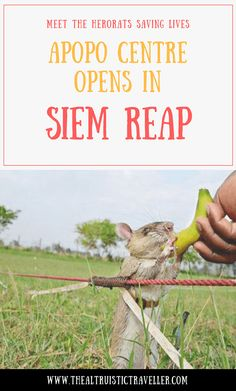 Meet the HeroRATS saving lives - APOPO centre opens in Siem Reap