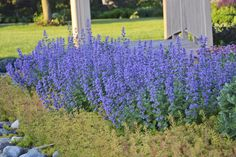 Cat's Meow Nepeta will put on a wonderful purple fashion show in the landscape each season. This perennial is hardy down to zone 3, and will stand strong with no flopping. http://emfl.us/-1Ld