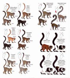 http://www.madagascar-library.com/images/700x700/lemur-ci-pocket-page.jpg