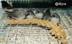 Gouldian Finch Foods and Treats